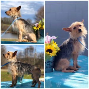 Conway - 2 yr Male Yorkshire Terrier