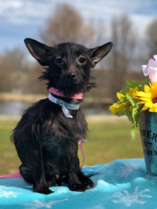 Iva - 3 yr old Female Terrier Mix